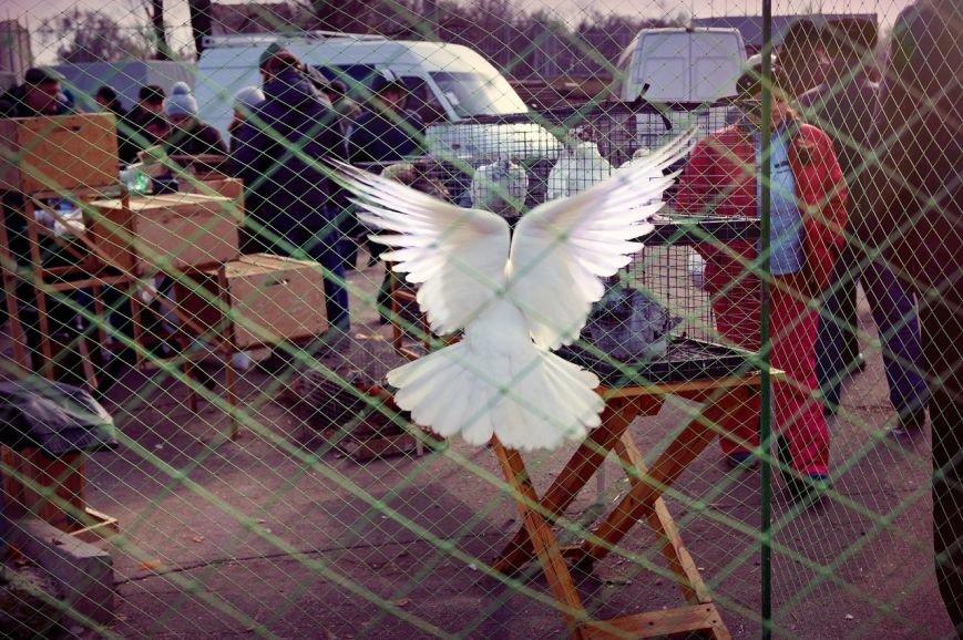 На выставке в Кривом Роге горожане смогли полюбоваться необычными породами голубей (ФОТО) (фото) - фото 2