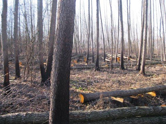 На Черниговщине незаконных лесорубов поймали на горячем (фото) - фото 2