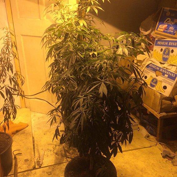 Криворожанка закупила 50 пакетов марихуаны