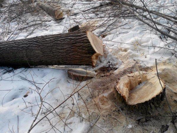 В Винновской роще неизвестные срубили 40 деревьев (фото) - фото 1