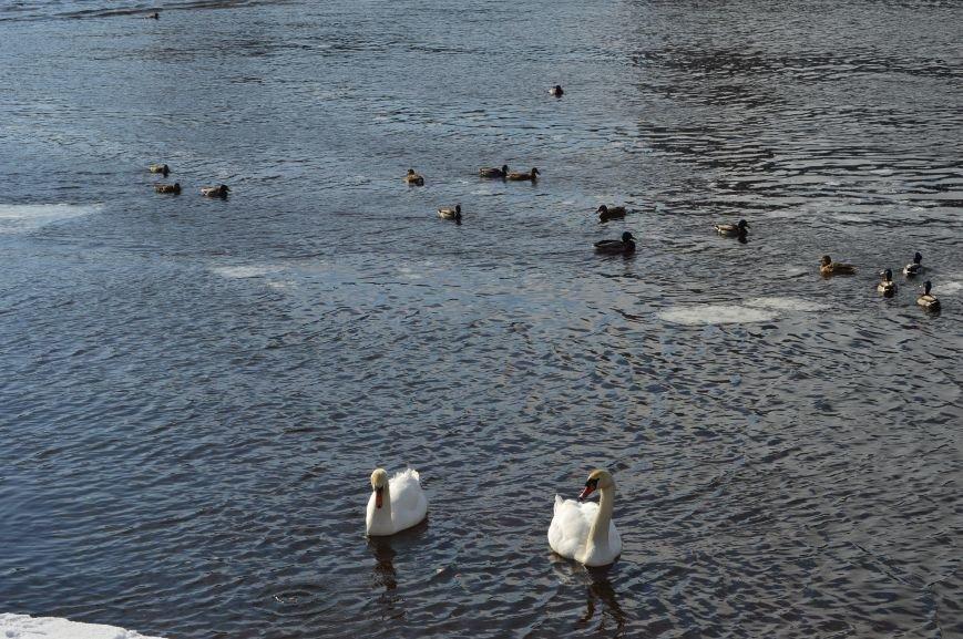 В центре Витебска массово подкармливают лебедей, фото-2