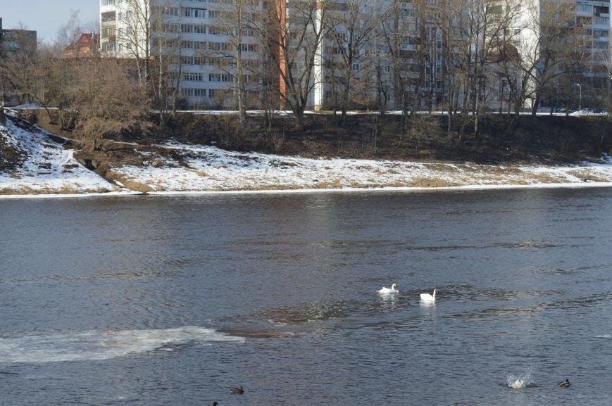 В центре Витебска массово подкармливают лебедей, фото-1