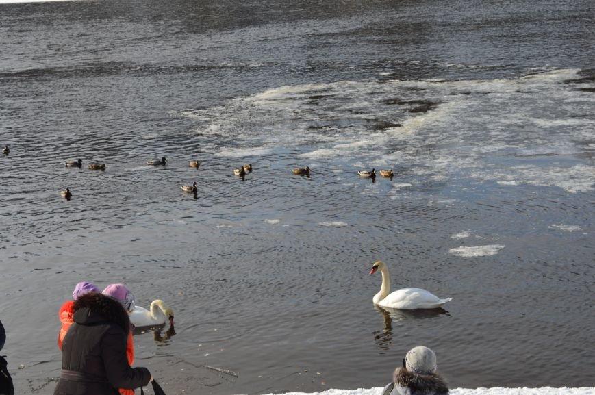 В центре Витебска массово подкармливают лебедей, фото-3