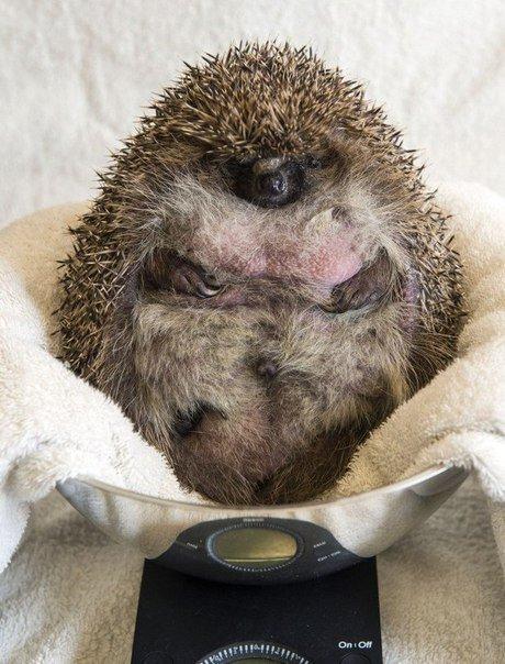 Пора худнути. Або їжака посадили на дієту, бо той не може згортатися в клубок (ФОТО) (фото) - фото 1