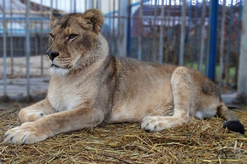 В Старооскольском зоопарке родились львята (фото) - фото 2