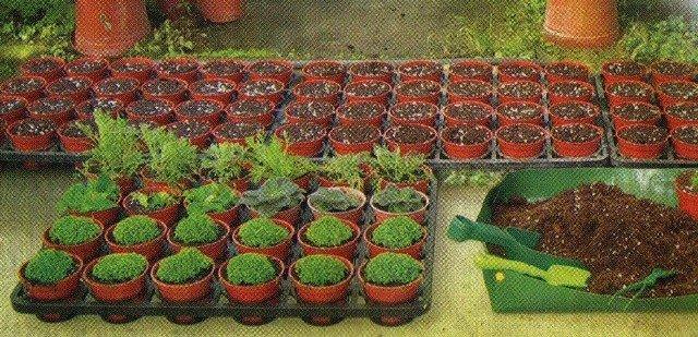 як правильно сіяти насіння на розсаду
