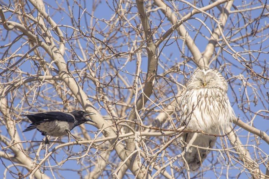 Спор ворон с совой на полевской улице (фотоинформация), фото-5