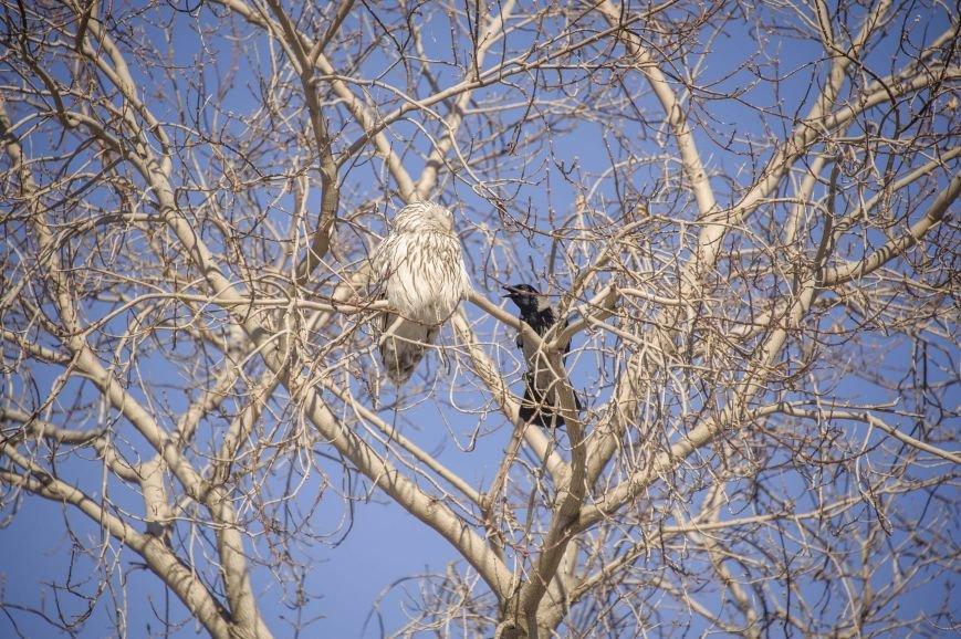 Спор ворон с совой на полевской улице (фотоинформация), фото-2