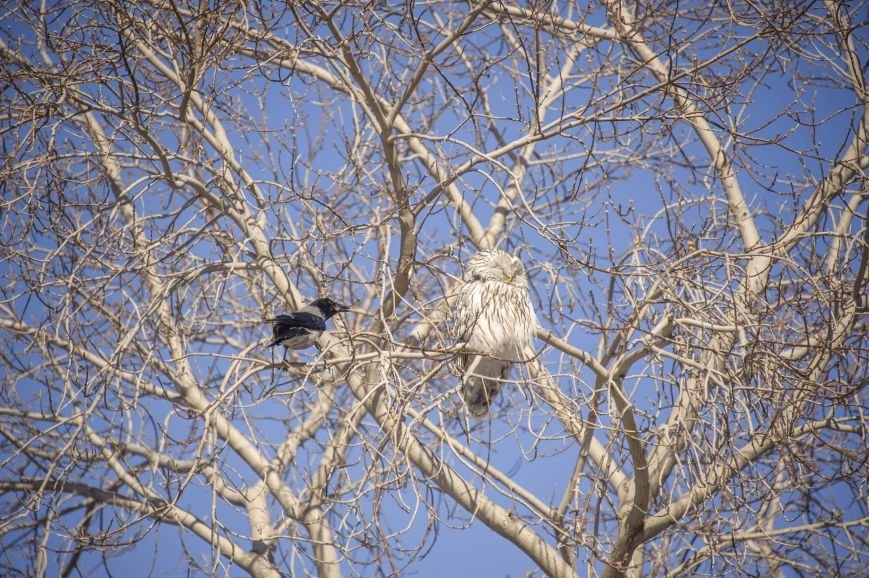 Спор ворон с совой на полевской улице (фотоинформация), фото-6
