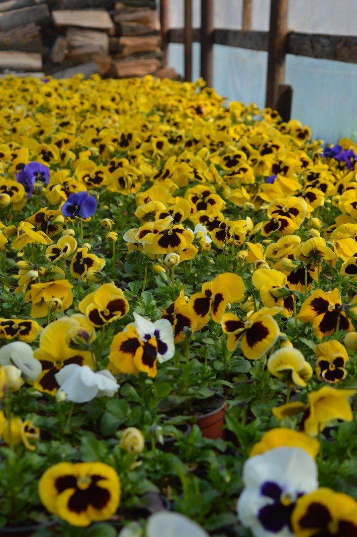 В теплицы КП «ЗЕЛЕНХОЗ» Черноморска пришла весна (+ФОТО) (фото) - фото 5