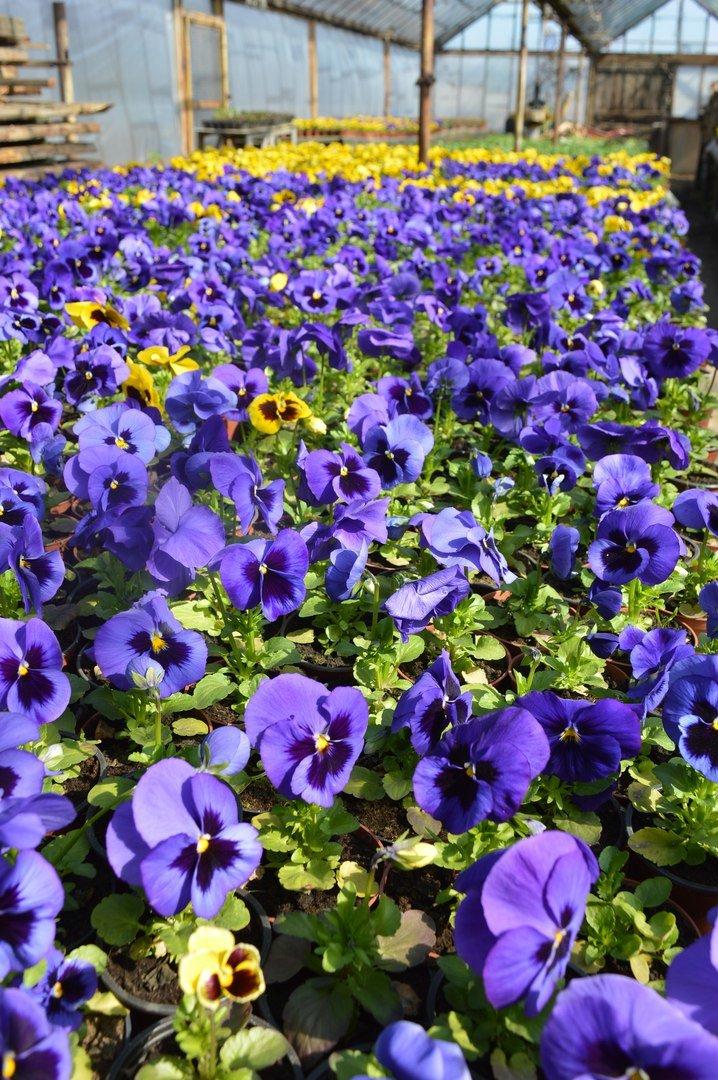 В теплицы КП «ЗЕЛЕНХОЗ» Черноморска пришла весна (+ФОТО) (фото) - фото 3