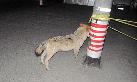 В Киеве пьяные туристы украли из отеля чучело волка (ФОТО) (фото) - фото 1