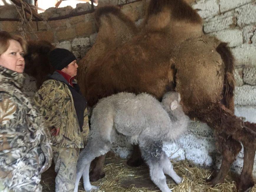 В «Сказке» верблюжонка назвали в честь воссоединения с Россией (ФОТО), фото-1