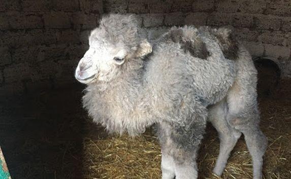 В «Сказке» верблюжонка назвали в честь воссоединения с Россией (ФОТО) (фото) - фото 1