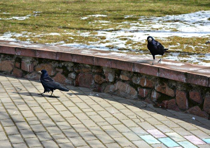 Фотофакт: в Новополоцк прилетели грачи, фото-2