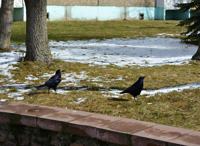 Фотофакт: в Новополоцк прилетели грачи, фото-1