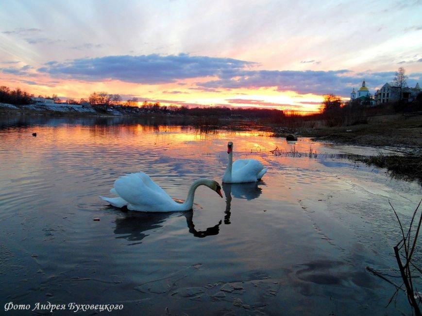 Фотофакт: В Полоцк прилетели лебеди (фото) - фото 3