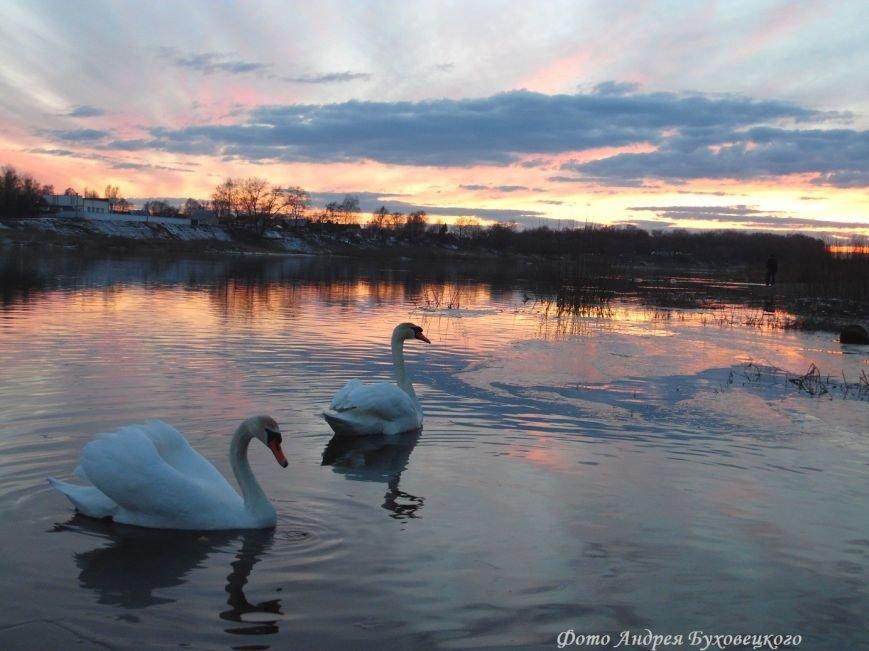 Фотофакт: В Полоцк прилетели лебеди (фото) - фото 2