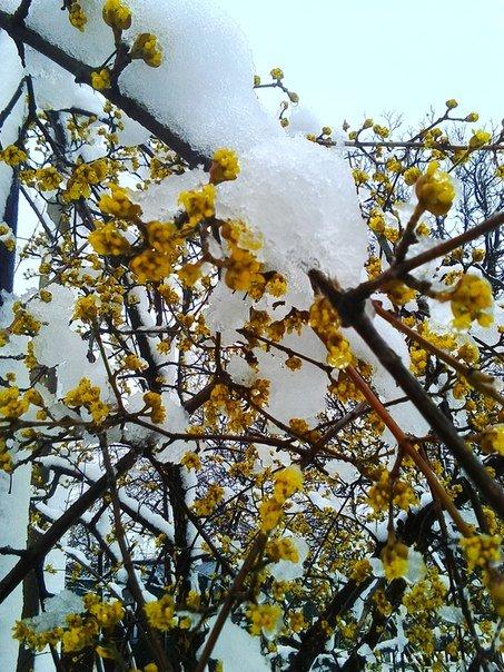 0b385cd0f52fc7856e8170eca2d5c66b В Одесскую область вернулась зима: фото цветущих деревьев в снегу