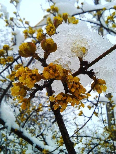 600cd619115d179206e23bbc89e2532a В Одесскую область вернулась зима: фото цветущих деревьев в снегу