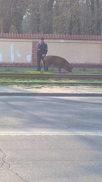 В Одессе на Люстдорфской дороге выгуливали огромного кабана (ФОТО) (фото) - фото 1
