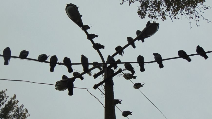 голуби