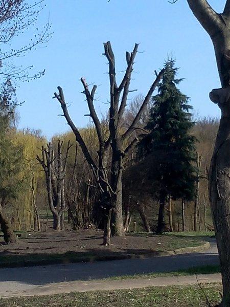 Від дерев у Тернополі майже нічого не залишилося (фото) (фото) - фото 1