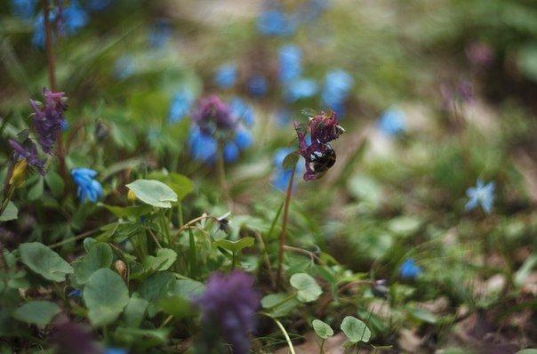 В Макеевке цветут пролески (фото) - фото 7