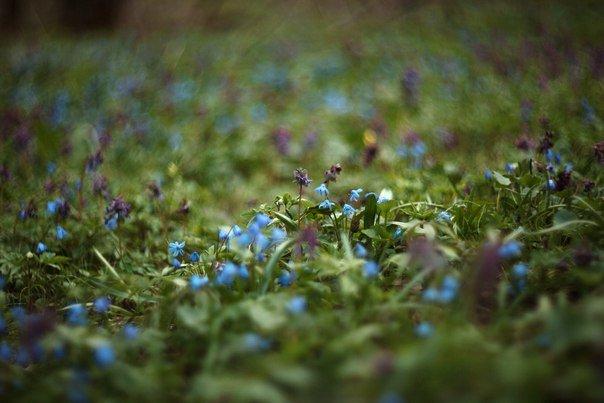 В Макеевке цветут пролески (фото) - фото 5