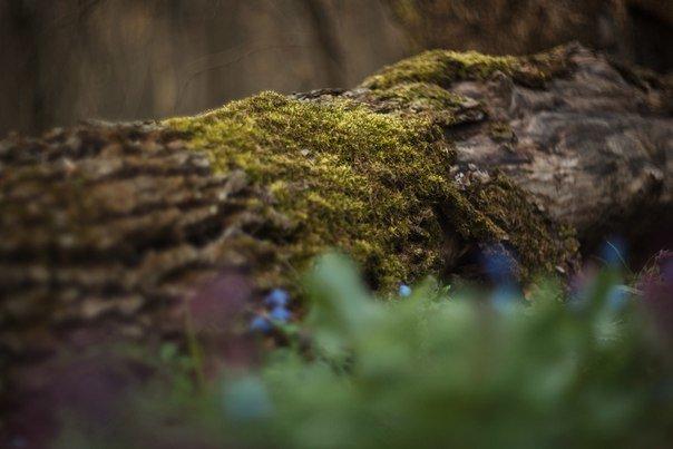 В Макеевке цветут пролески (фото) - фото 6