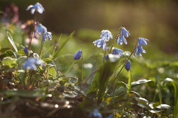 В Макеевке цветут пролески (фото) - фото 2