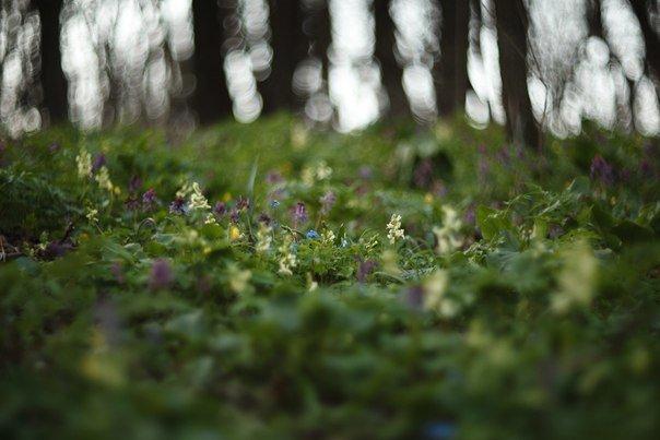 В Макеевке цветут пролески (фото) - фото 8