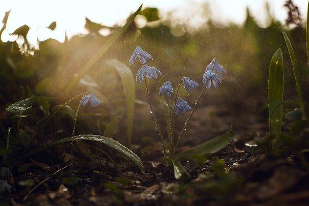 В Макеевке цветут пролески (фото) - фото 1