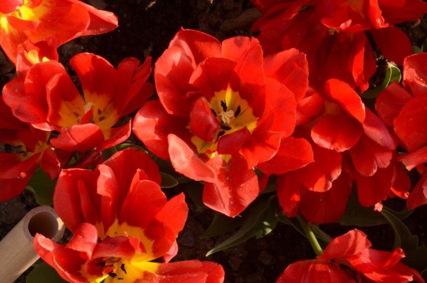 50 000 тюльпанов цветут одновременно в Никитском саду, фото-5
