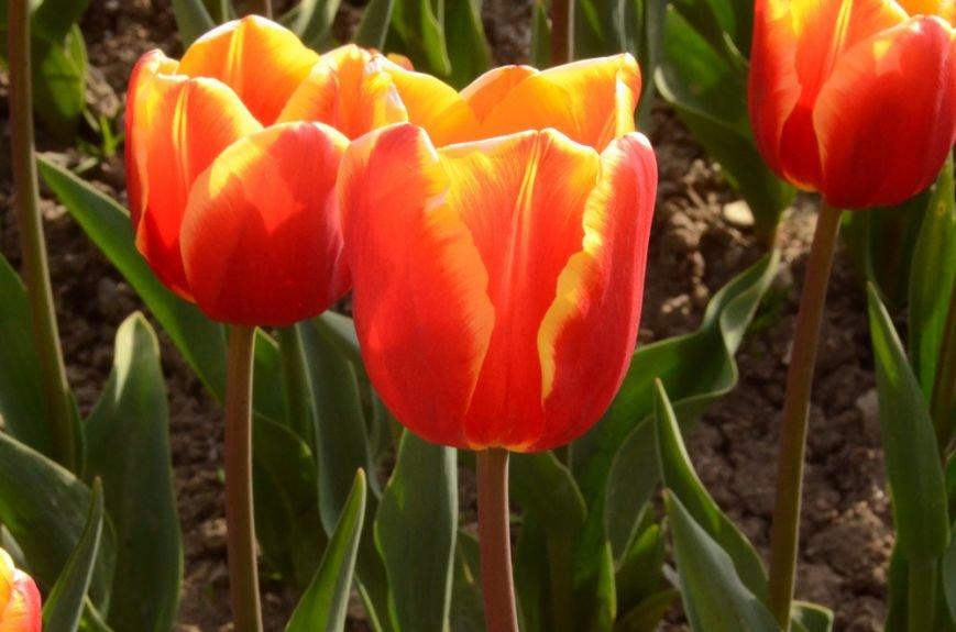 50 000 тюльпанов цветут одновременно в Никитском саду, фото-6