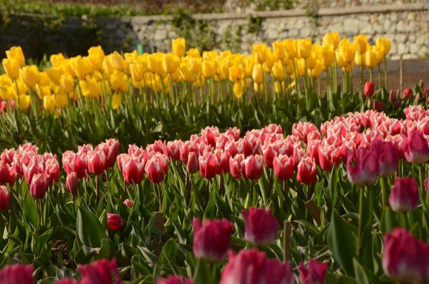 50 000 тюльпанов цветут одновременно в Никитском саду, фото-2
