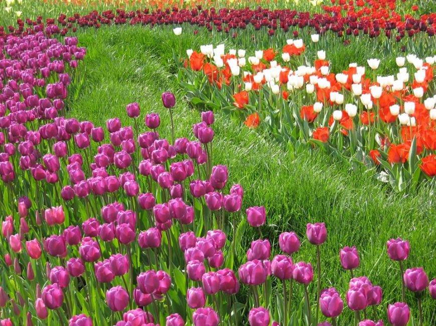 На Певческом поле открылась выставка тюльпанов (ФОТО), фото-3