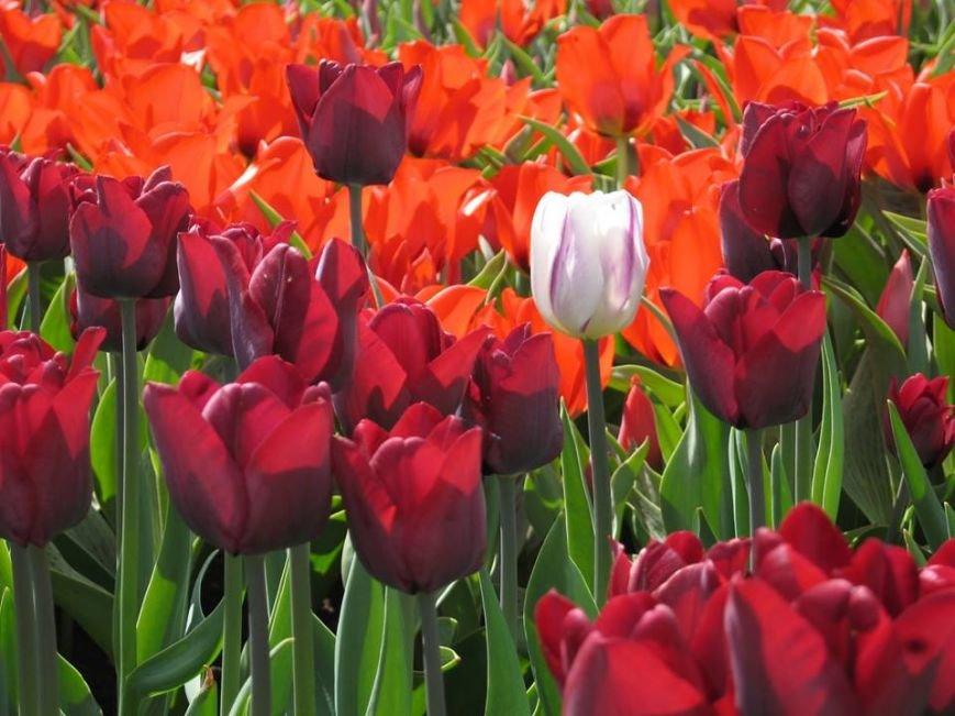 На Певческом поле открылась выставка тюльпанов (ФОТО), фото-7
