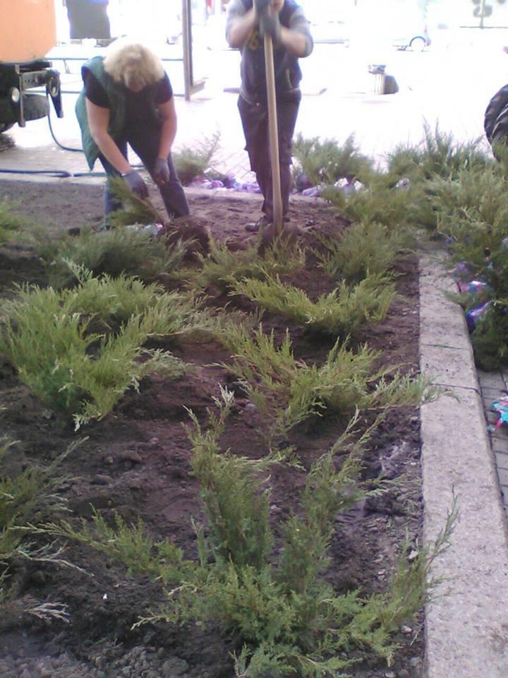В этом году Крещатик засадят можжевельником (ФОТО), фото-3