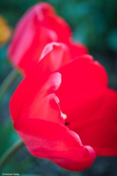 Минутка красоты. Макеевские тюльпаны (фото) (фото) - фото 8