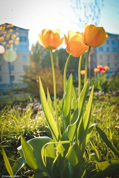 Минутка красоты. Макеевские тюльпаны (фото) (фото) - фото 7