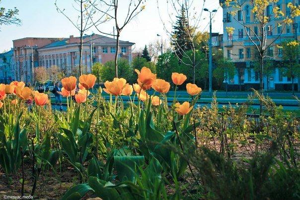 Минутка красоты. Макеевские тюльпаны (фото) (фото) - фото 4