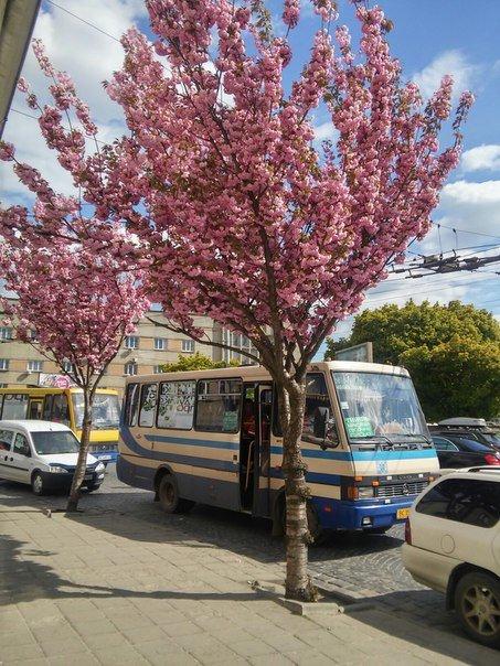 На площі Петрушевича розцвіла китайська сакура (ФОТО) (фото) - фото 2