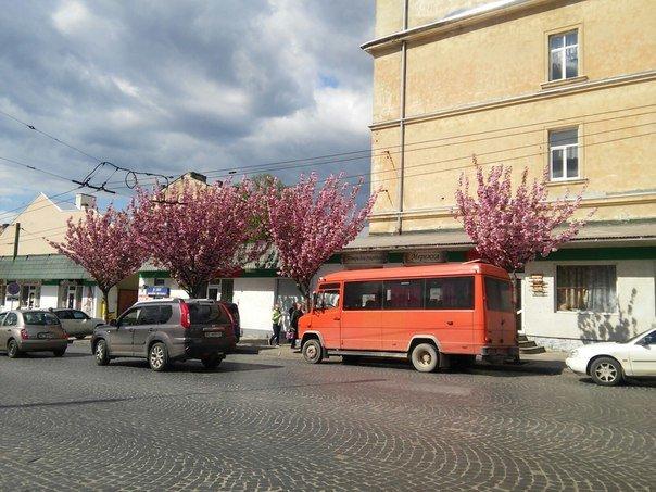 На площі Петрушевича розцвіла китайська сакура (ФОТО) (фото) - фото 4
