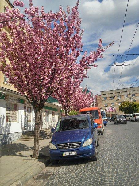 На площі Петрушевича розцвіла китайська сакура (ФОТО) (фото) - фото 6