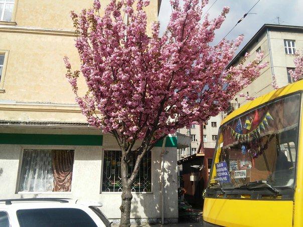 На площі Петрушевича розцвіла китайська сакура (ФОТО) (фото) - фото 5