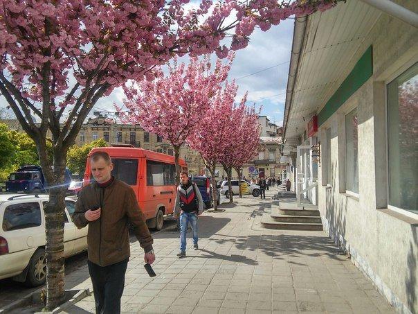 На площі Петрушевича розцвіла китайська сакура (ФОТО) (фото) - фото 1
