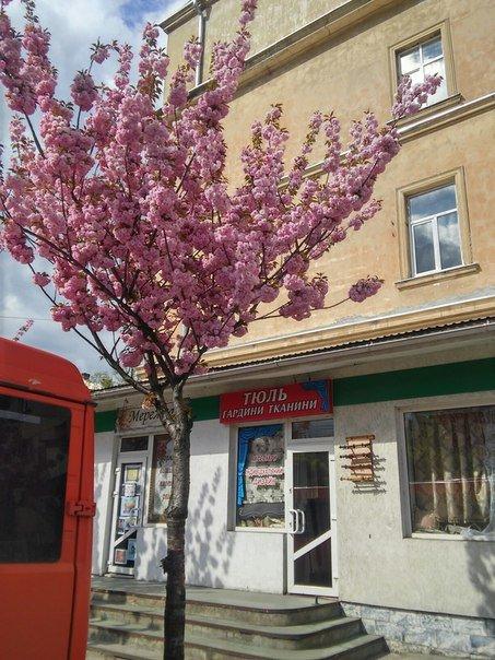 На площі Петрушевича розцвіла китайська сакура (ФОТО) (фото) - фото 3