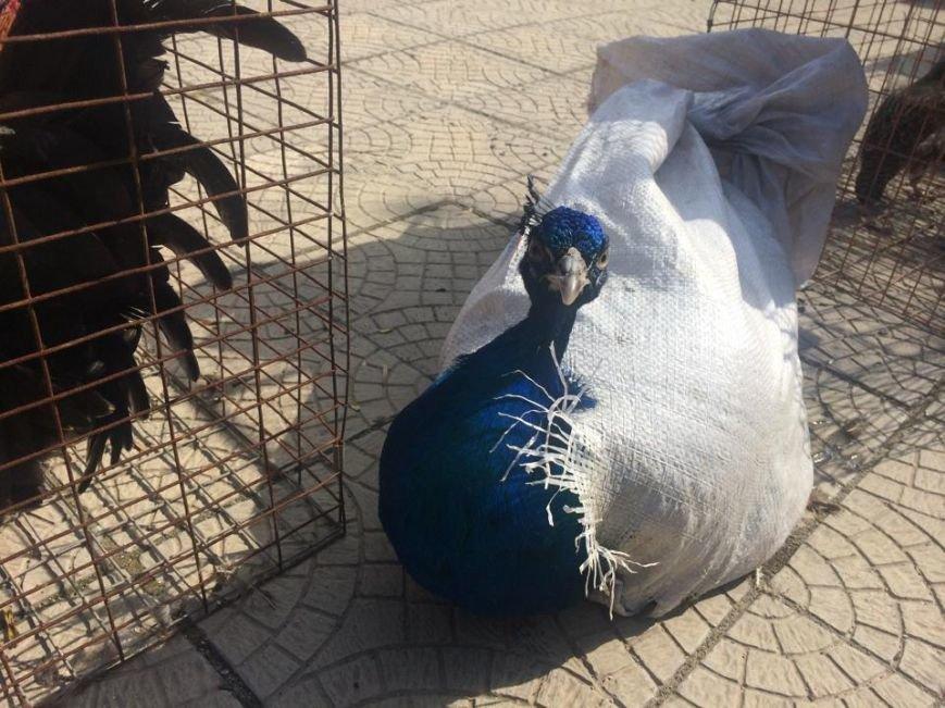 В Мангуше  впервые прошла  выставка -ярмарка голубей (ФОТО,ВИДЕО), фото-2