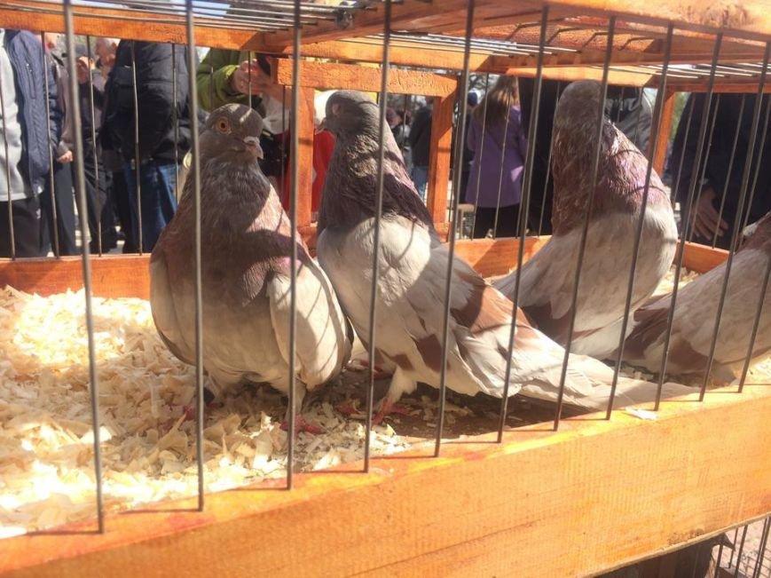В Мангуше  впервые прошла  выставка -ярмарка голубей (ФОТО,ВИДЕО), фото-3